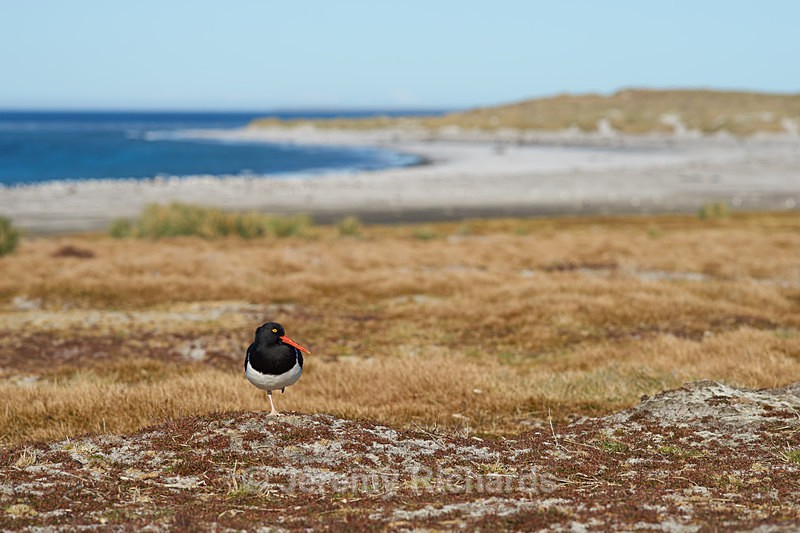Magellanic Oystercatcher - Sea Lion Island