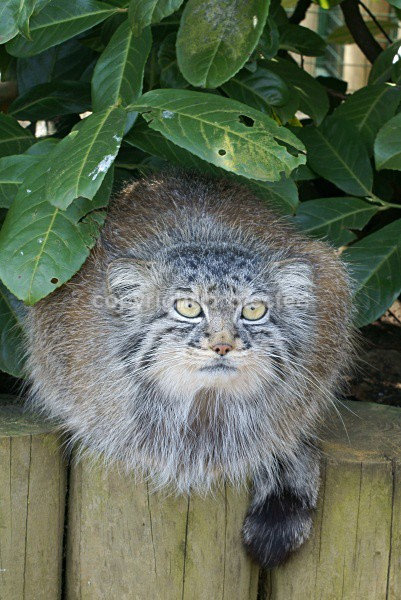 Tula - Pallas Cat - Small Cats