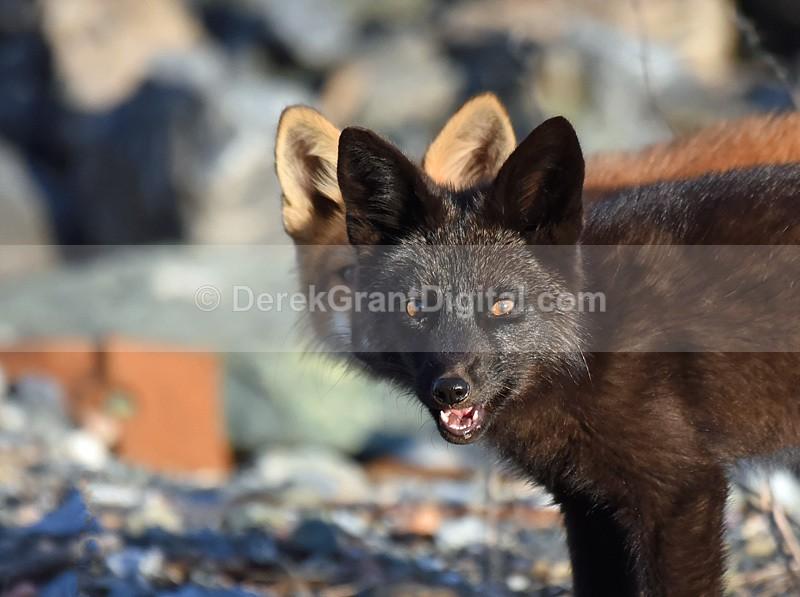 Silver Fox, Red Fox Kits Vulpes Vulpes - Mammals, Reptiles & Amphibians