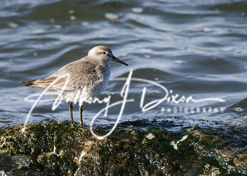 Dunlin - Latest Images