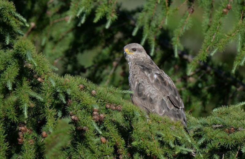 Common Buzzard - Birds Of Prey