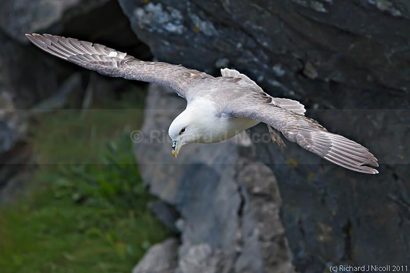 Fulmar (Fulmarus glacialis) - Fulmar (Fulmarus glacialis)