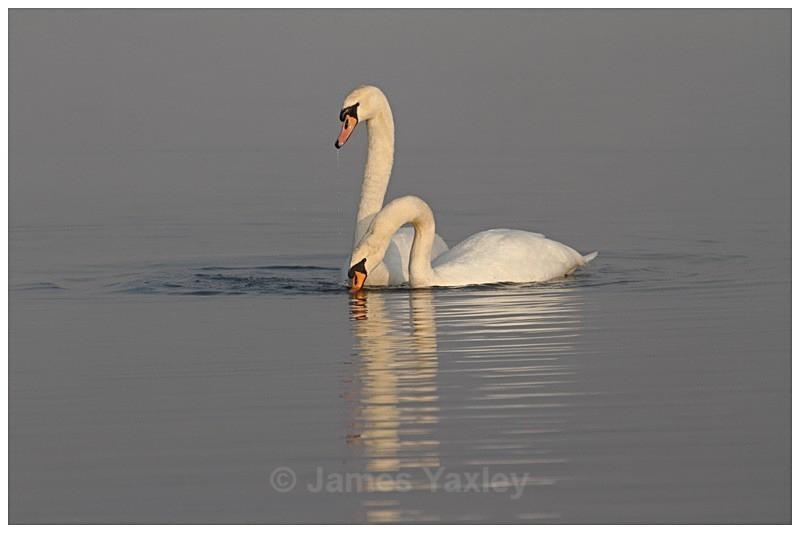 1 Mute Swan Courtship - The British Wildlife Photography Awards 2009 to 2014
