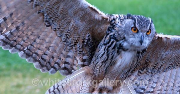 Eurasian Owl - Wildlife and Animals