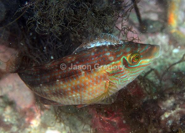 Anilocra physodes - Crabs, Lobsters, Shrimps & Prawns etc (Crustacea)
