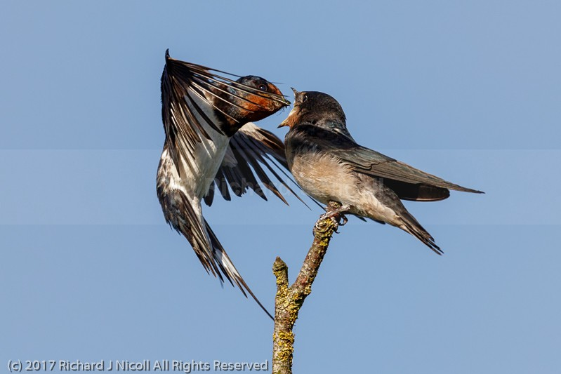 Swallow (Hirundo rustica) feeding juvenile - Swallow (Hirundo rustica)