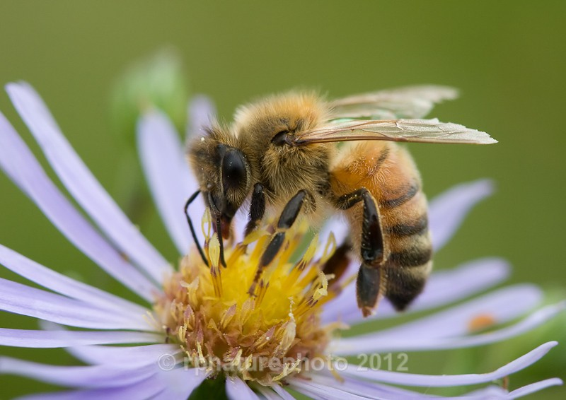Honey Bee - Apis mellifera RPNP0003 - Insects & Spiders