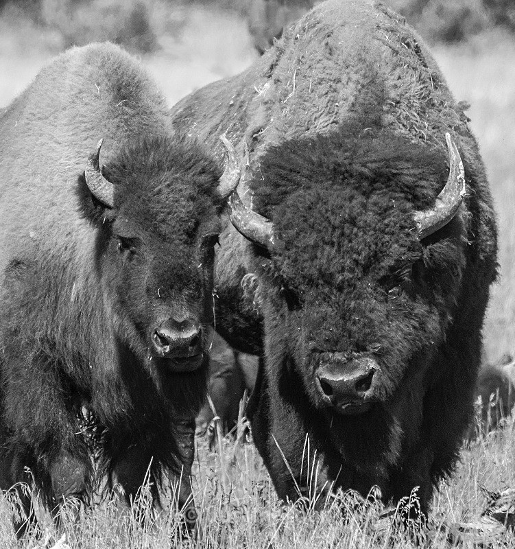 Bison young and old - Yellowstone