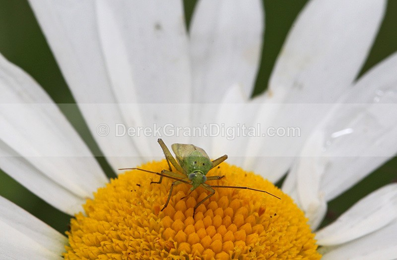 Closterotomus norvegicus Potato Bug - Bees, Beetles, Bugs