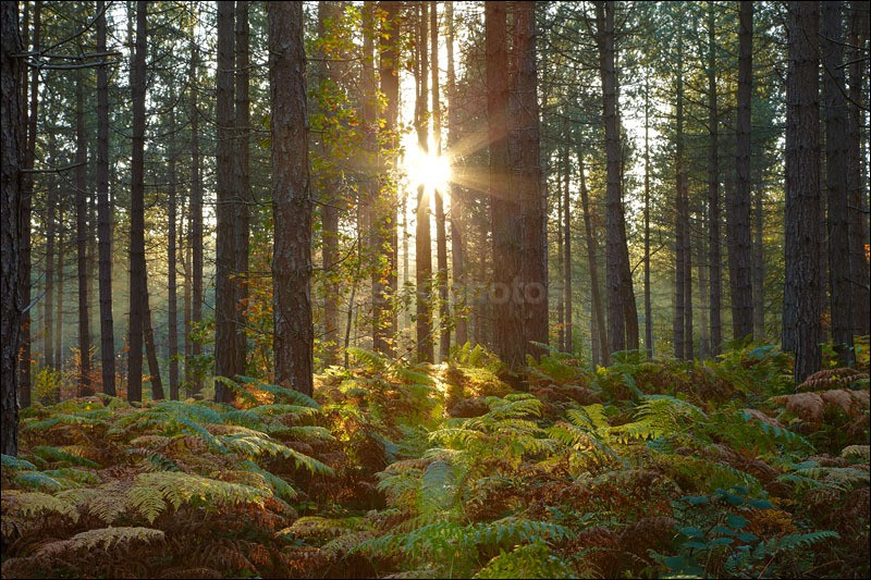 Pine Tree burst - Photographs of Woodland & Rivers