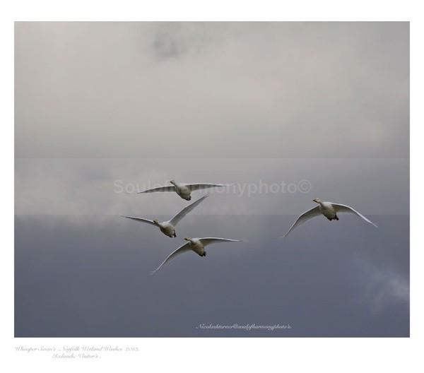 Whooper Swans - Wildlife Wildlife