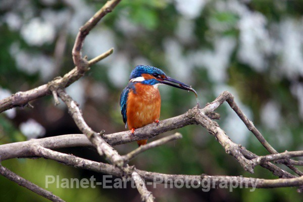 Kingfisher 1 - Kingfishers