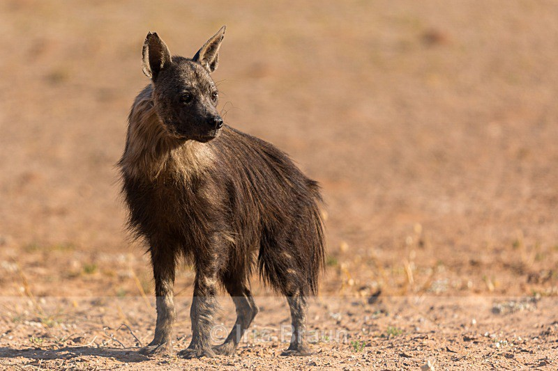 Brown Hyena - Hyena