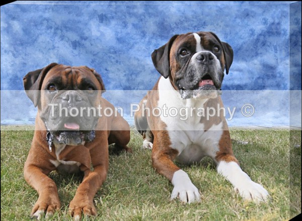 BOXERS Canvas Wrap 16x12 £48 for thick canvas or £35 for slim +£8 pp - Canvas Prints