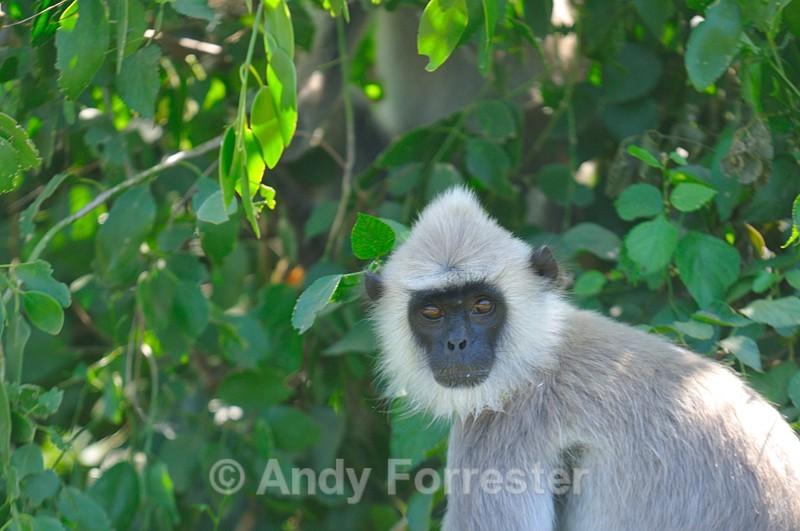 Monkey - Yala Sri Lanka