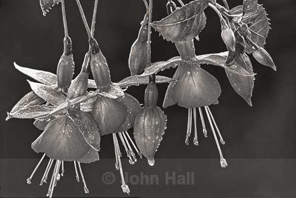 Fine Art Monochrome Of Fuchsias
