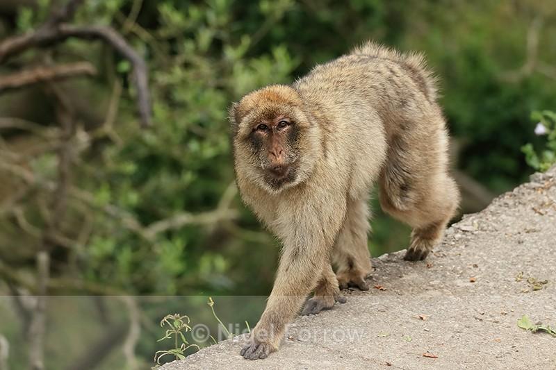 Barbary Macaque walking, Rock of Gibraltar - Monkey