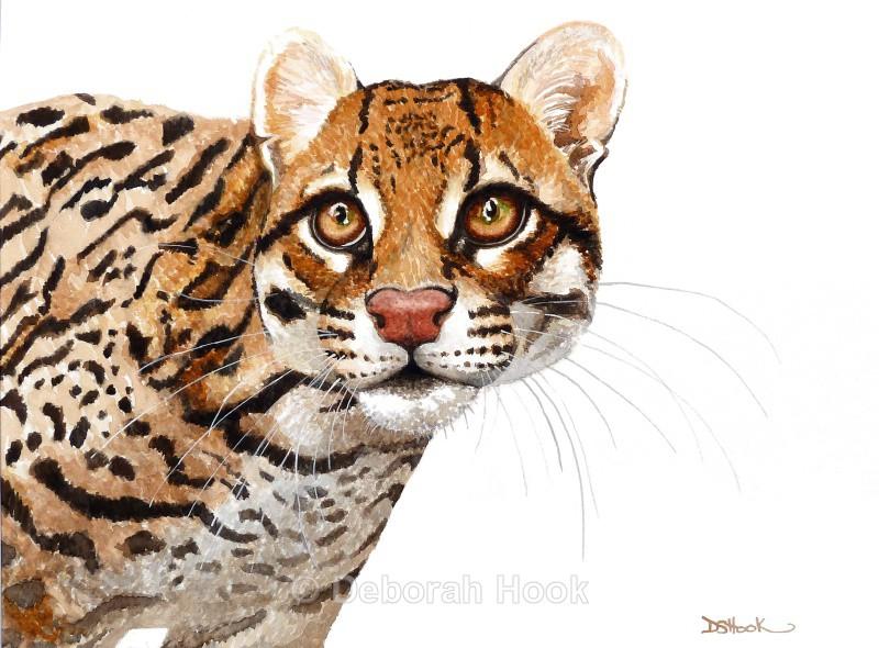 Ocelot - Big cats