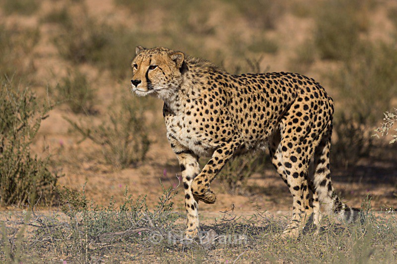 Stalking - Cheetah