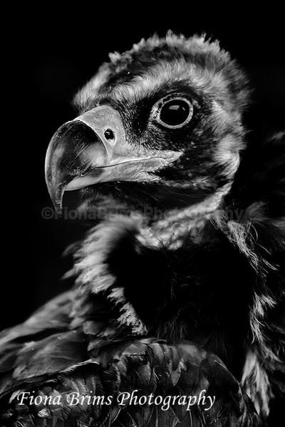 ICBP-57 - Birds of Prey