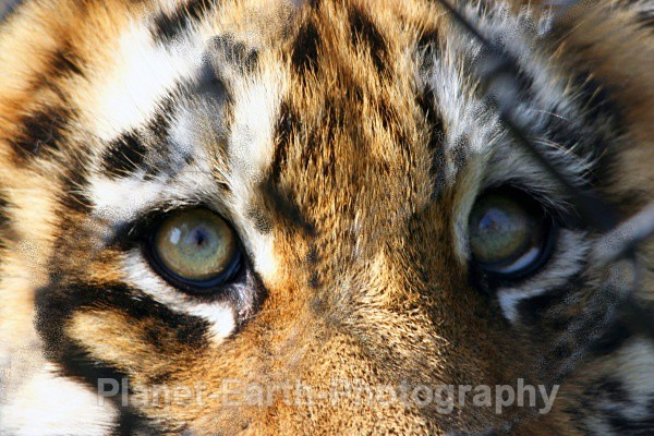 Eyes Of The Tiger - Around The World
