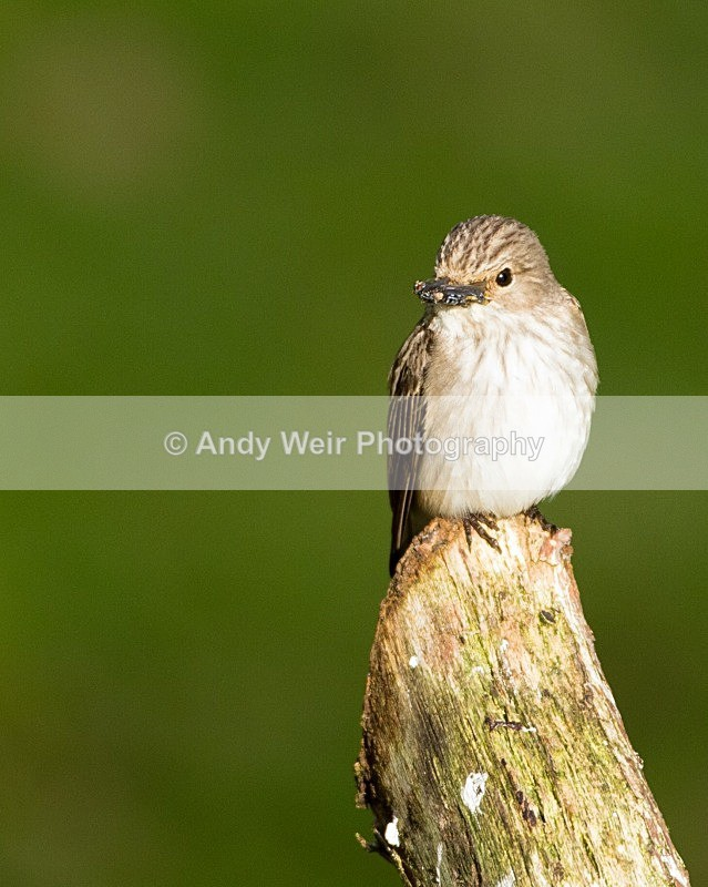 20110615-IMG_5912 - Flycatchers