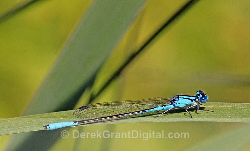Azure Bluet (male) - Dragonflies of Atlantic Canada