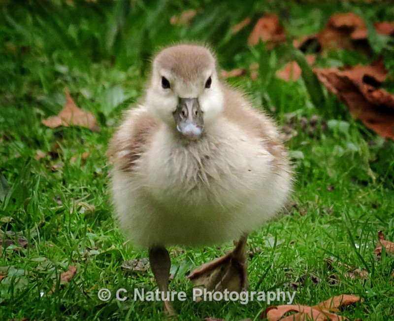 Egyptian Goose Chick - Birds