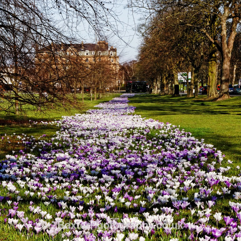 Crocus Carpet - Harrogate Town