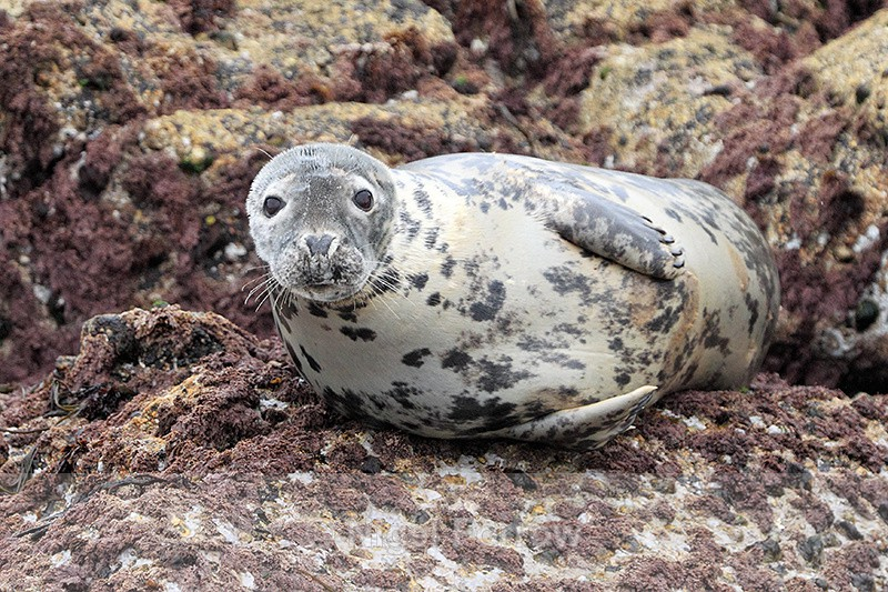 Grey Seal (female), Isles of Scilly - Seal