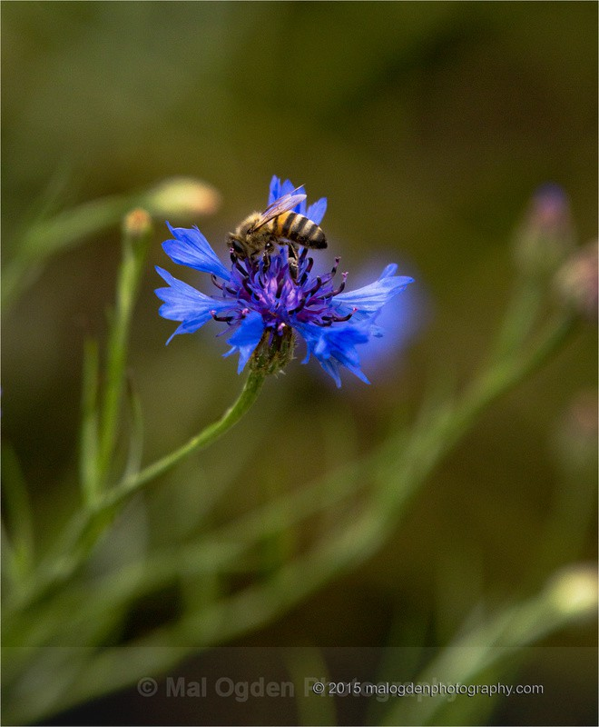 Cornflower and the Bee - Flora & Fauna