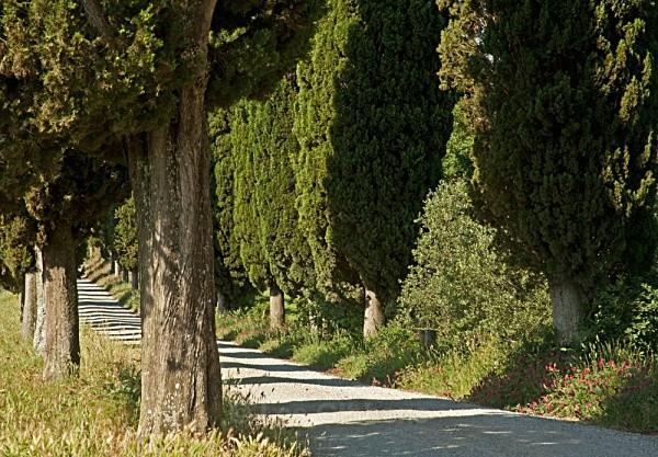 tree avenue - Tuscany