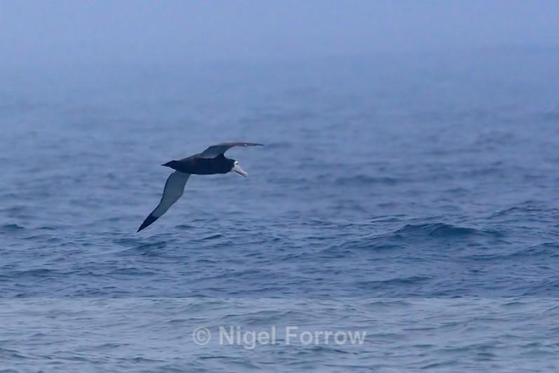 Unidentified Albatross skimming the waves in the mist - Unidentified Birds