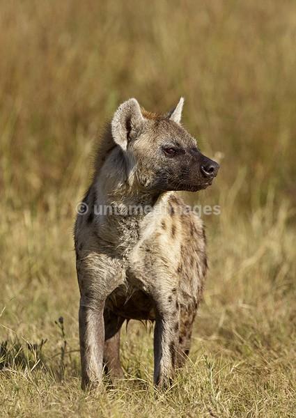 Spotted Hyena - Botswana
