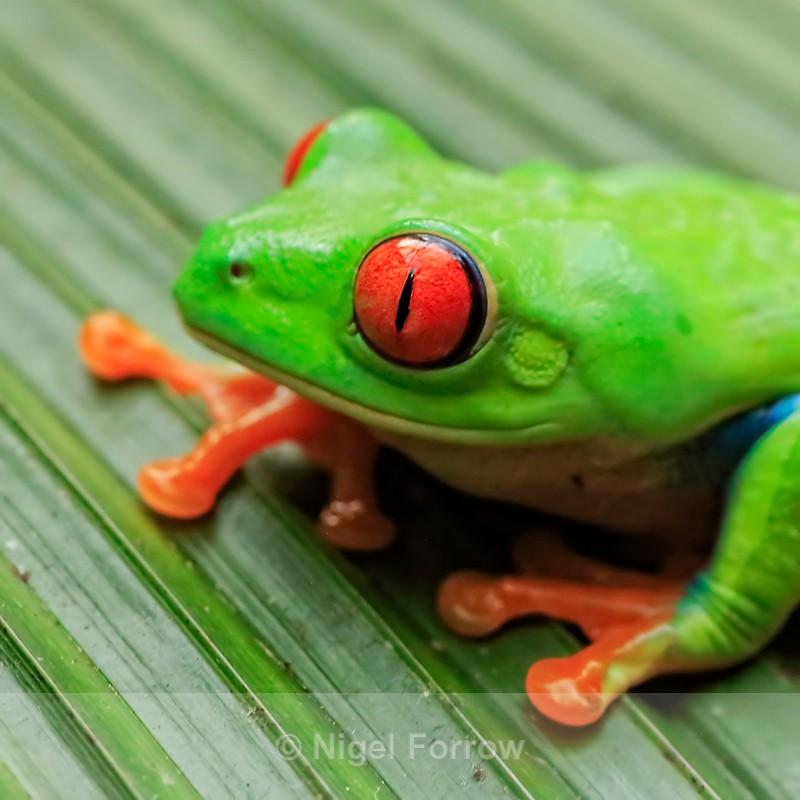 Red-eyed Tree Frog close-up, La Paz Gardens, Costa Rica - REPTILES & AMPHIBIANS