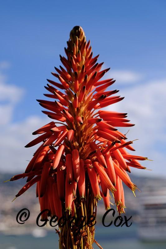 Aloe Vera Flower - Madeira