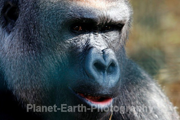 Silverback Male 3 - Primates