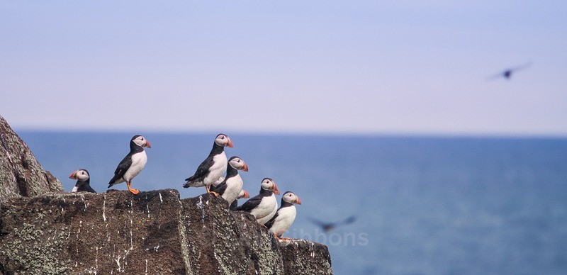 puffins - Fife and the Isle of May