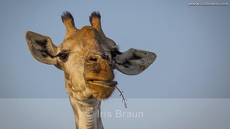 Delicious - Giraffe