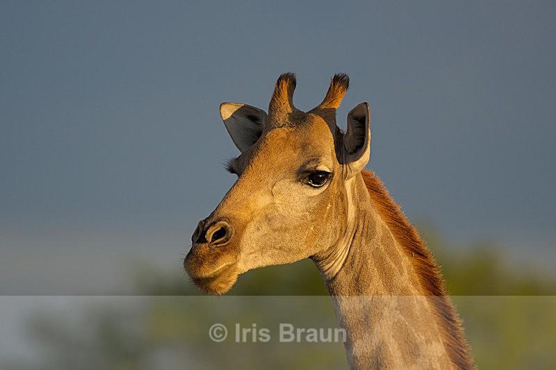 Giraffe in Fading Light - Giraffe