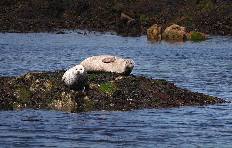Cloughy Rocks Seals - The Lecale Coastline
