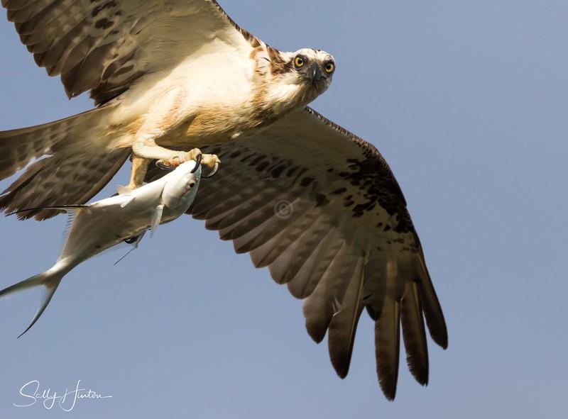Osprey with Swallowtail 2 - Osprey (For Sale)