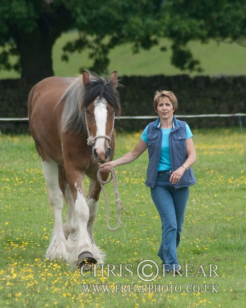 ryecroft-23 - Clydesdales 2013 Include Foals
