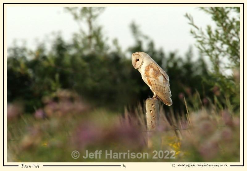 BO 011 - Barn Owls