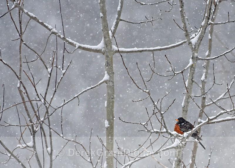 A Robin in Winter - Winterscape