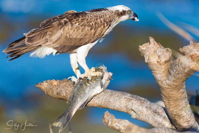 Osprey with Luderick 5 - Osprey (For Sale)