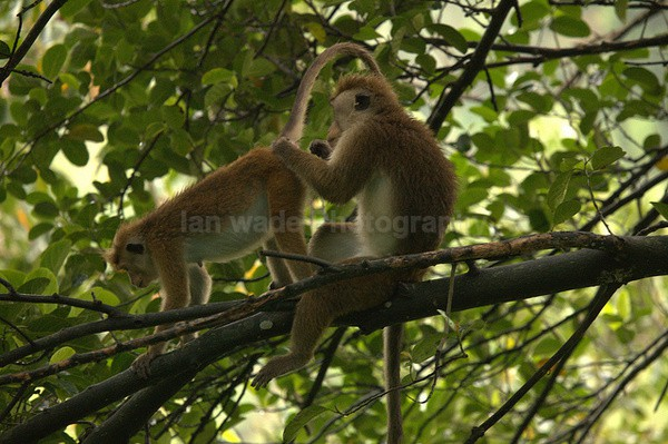 Macaque Monkey in Jungle in Ella Sri Lanka 14 - Sri Lanka wildlife, people & places