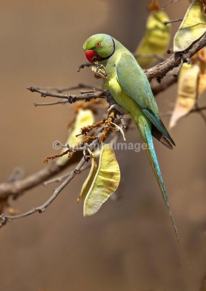 Rose-ringed Parakeet 2 - India
