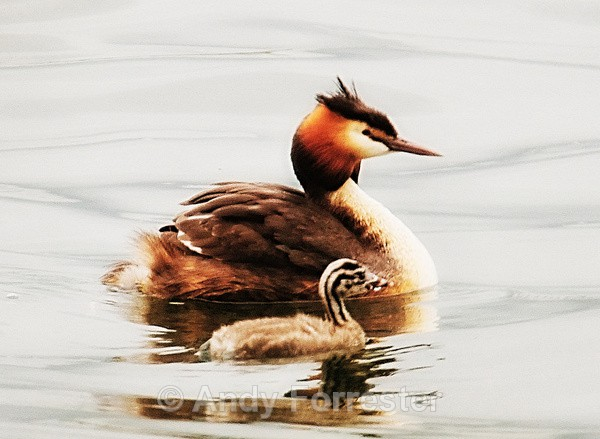 Out for a Strole - Great Crested Grebes