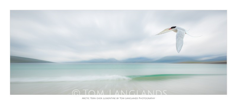Arctic Tern over Luskentyre - Fine Art Prints